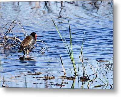 Common Gallinule Metal Print
