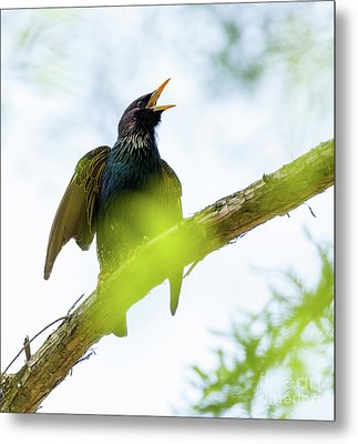 Common Starling On A Tree Branch Metal Print by Catalin Petolea