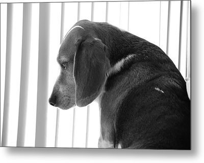Metal Print featuring the photograph Contemplative Beagle by Jennifer Ancker