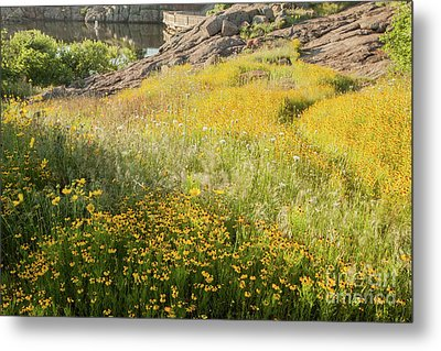 Corepsis Field Of Dreams Metal Print by Iris Greenwell