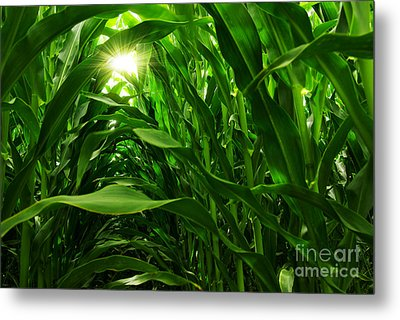 Corn Field Metal Print by Carlos Caetano