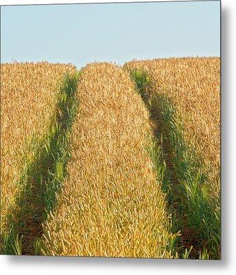 Corn Field Metal Print by Heiko Koehrer-Wagner