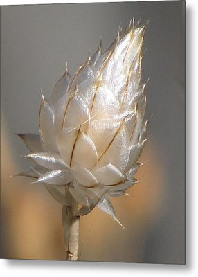 Cornflower Seed Pod Metal Print by Michele Penner