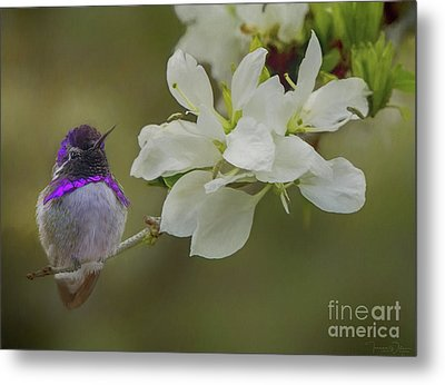 Costas Hummingbird On An Anacacho Orchid Branch Metal Print