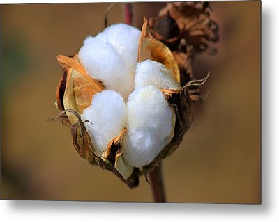 Cotton Boll Metal Print by Barry Jones