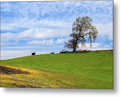Cows On A Spring Hill Metal Print by James Eddy