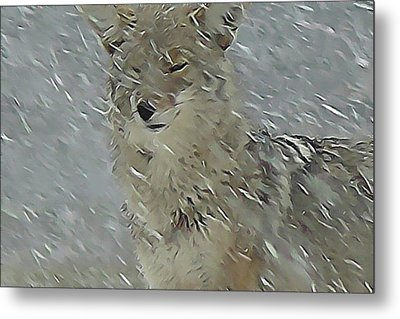 Coyote In Winter Metal Print by Errol Savage
