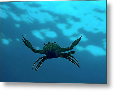 Crab Swimming In The Blue Water Metal Print by Sami Sarkis