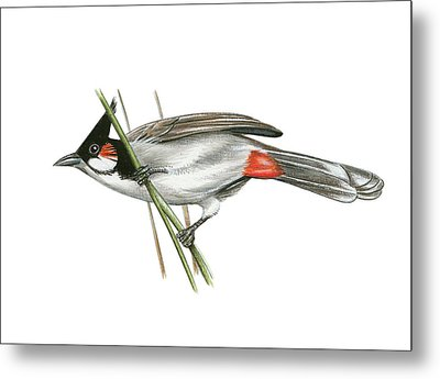 Crested Bulbul Metal Print by Lionel Portier