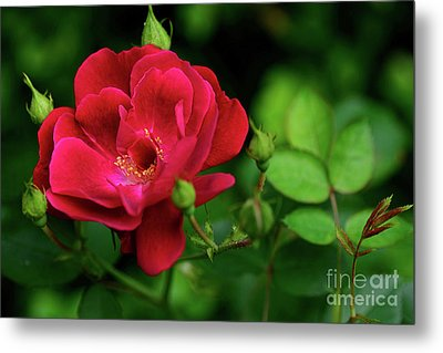 Metal Print featuring the photograph Crimson Red Rose By Kaye Menner by Kaye Menner