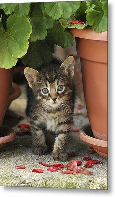 Croatian Kitten Metal Print by Don Wolf