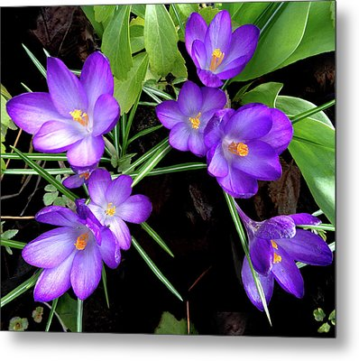 Crocus First To Bloom Metal Print