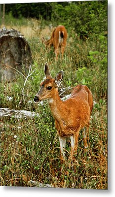 Curious Fawn In Grassy Meadow Metal Print by Christopher Kimmel