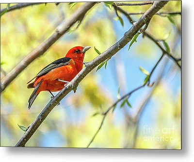 Curious Scarlet Tanager Metal Print