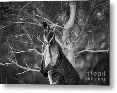 Curious Wallaby 2 Metal Print by Naomi Burgess