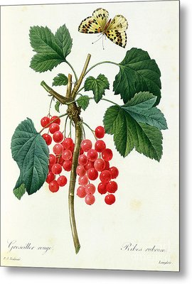 Currants  Red Metal Print by Pierre Joseph Redoute