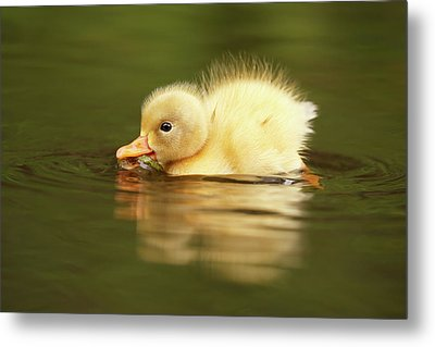 Cute Overload Series - The Very Hungry Duckling Metal Print