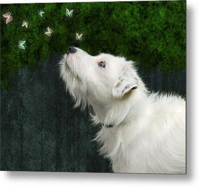 Cute White Jack Russel Dog Metal Print by Ethiriel  Photography