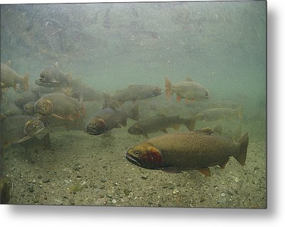 Cutthroat Trout Swim Metal Print by Michael S. Quinton