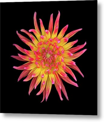 Dahlia Two Metal Print by Christopher Gruver