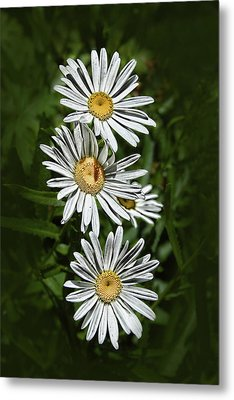 Metal Print featuring the photograph Daisy Chain by Marie Leslie