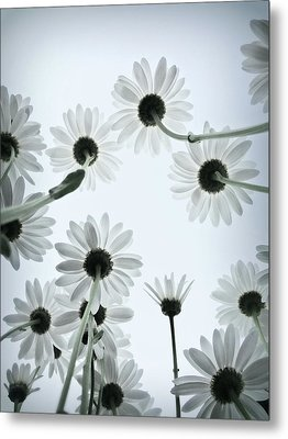 Daisy Flowers Rear View Metal Print by photograph by Anastasiya Fursova