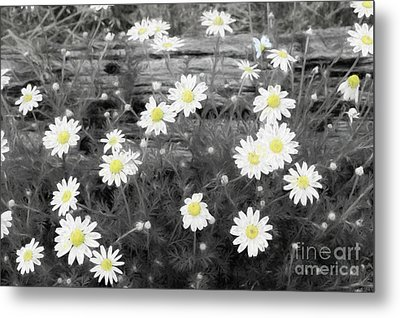 Metal Print featuring the photograph Daisy Patch by Benanne Stiens