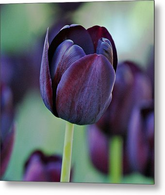 Dark Purple Tulip Metal Print by Sandy Keeton