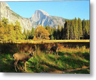 Deer And Half Dome Metal Print by Sandy L. Kirkner