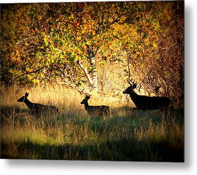 Deer Family In Sycamore Park Metal Print by Carol Groenen