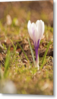 Metal Print featuring the photograph Delicate Crocus by Christine Amstutz