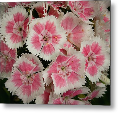 Metal Print featuring the photograph Delightful Dianthus by Jean Noren