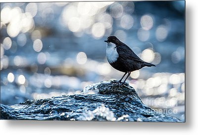 Metal Print featuring the photograph Dipper On Ice by Torbjorn Swenelius