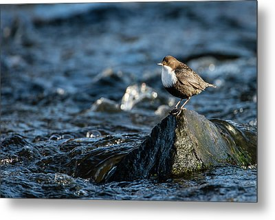 Metal Print featuring the photograph Dipper On The Rock by Torbjorn Swenelius