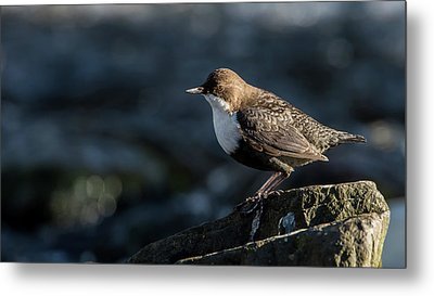 Metal Print featuring the photograph Dipper by Torbjorn Swenelius