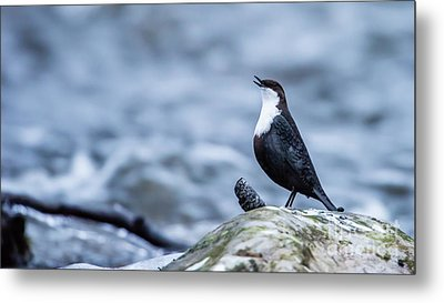 Metal Print featuring the photograph Dipper's Call by Torbjorn Swenelius