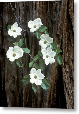 Dogwood And Redwod Metal Print