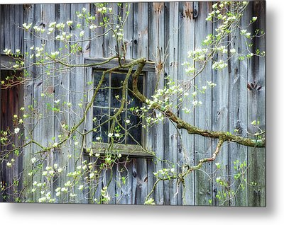 Dogwood Blossoms- Rejuvination  Metal Print by Thomas Schoeller