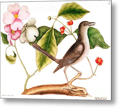 Dogwood  Cornus Florida, And Mocking Bird  Metal Print by Mark Catesby