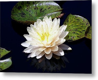 Dotty White Lotus And Lily Pads 0030 Dlw_h_2 Metal Print