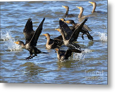 Double Crested Cormorants Metal Print by Louise Heusinkveld