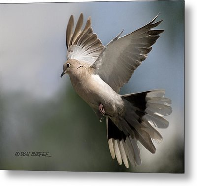 Metal Print featuring the photograph Dove Takeoff by Don Durfee