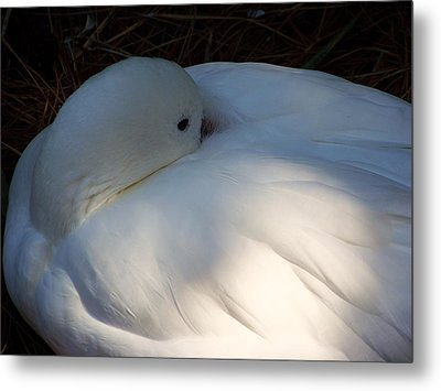 Down For A Nap Metal Print by Karen Wiles