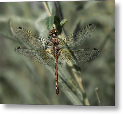 Dragonfly 4 Metal Print