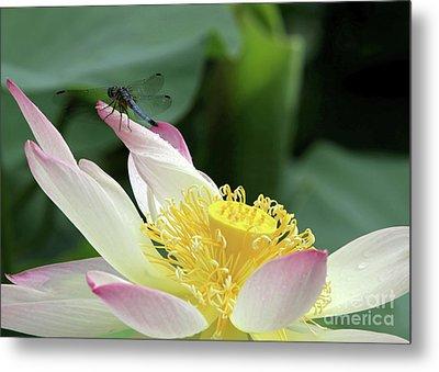 Dragonfly On Lotus Metal Print by Sabrina L Ryan