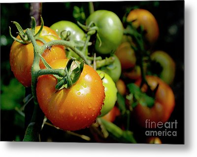 Drops On Immature Red And Green Tomato Metal Print by Sami Sarkis