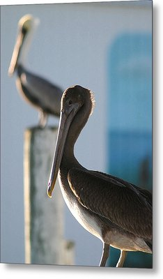 Dual Pelicans Metal Print by Mary Haber
