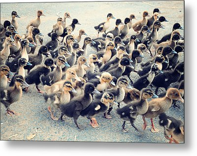 Ducklings Metal Print