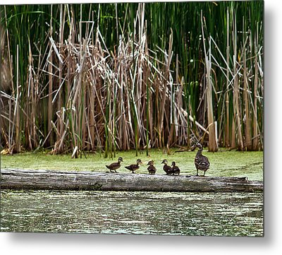 Ducks All In A Row Metal Print by Edward Peterson