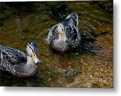 Metal Print featuring the photograph Ducks In A Row by Paul SEQUENCE Ferguson             sequence dot net